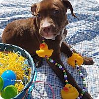 Adopt A Pet :: Goldy-Pending! - Detroit, MI