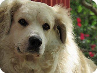 Golden Retriever Mix Dog for adoption in Kiowa, Oklahoma - Callie
