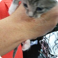 Domestic Shorthair Kitten for adoption in Raleigh, North Carolina - Meka