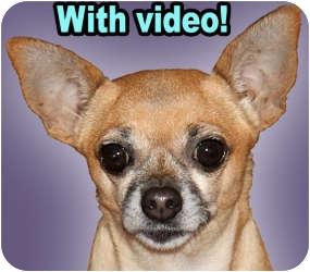 Chihuahua Mix Dog for adoption in Dallas, Texas - Mimi