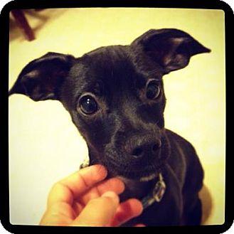 Dachshund/Chihuahua Mix Puppy for adoption in Torrance, California - OTIS