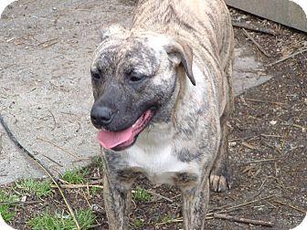Catahoula Leopard Dog Mix Dog for adoption in Julian, North Carolina - lady