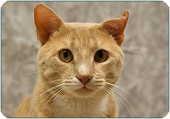 Domestic Shorthair Cat for adoption in Elmwood Park, New Jersey - Sonny