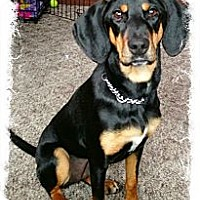 Adopt A Pet :: DJ - Harrisburgh, PA