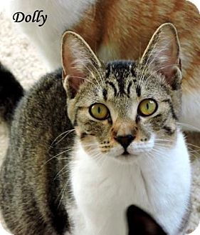 Domestic Shorthair Cat for adoption in McKinney, Texas - Dolly