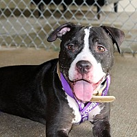 American Bulldog/Pit Bull Terrier Mix Dog for adoption in Ft. Myers, Florida - Linus