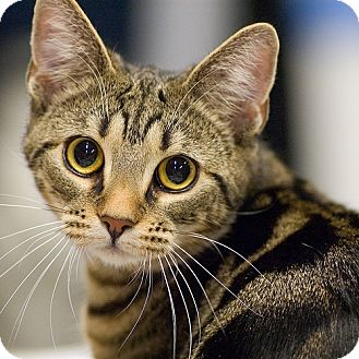American Shorthair Cat for adoption in Modesto, California - Turtle