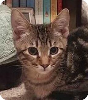 Domestic Shorthair Cat for adoption in Burlington, North Carolina - CHASE