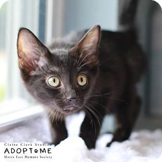 Domestic Shorthair Cat for adoption in Edwardsville, Illinois - Betsy