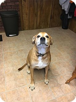 Rottweiler/Pit Bull Terrier Mix Dog for adoption in Orwigsburg, Pennsylvania - Prince  *** Courtesy Post***