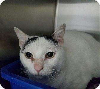 Domestic Shorthair Cat for adoption in Elyria, Ohio - Oreo