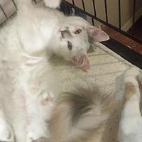 Domestic Longhair Cat for adoption in Bayside, New York - Penelope