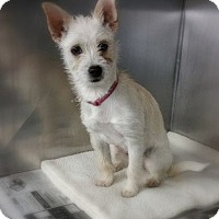 Adopt A Pet :: Daysi - mooresville, IN