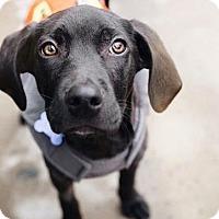 Adopt A Pet :: Clark Gable - Brooklyn, NY