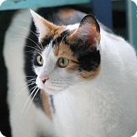 Adopt A Pet :: Gia (Declawed) - Troy, IL