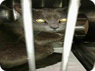 Domestic Mediumhair Cat for adoption in Jacksonville, Florida - OSCAR