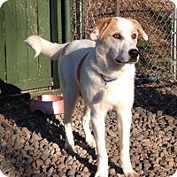 Adopt A Pet :: Thor **At Camp Bow Wow** - Breinigsville, PA