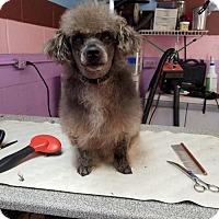 Adopt A Pet :: Coco Bean - Spartanburg, SC