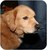 Golden Retriever Mix Dog for adoption in Scottsdale, Arizona - Bradley