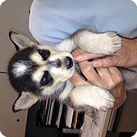 Adopt A Pet :: Laska - North Hollywood, CA