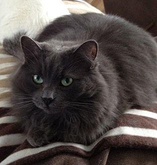 Domestic Shorthair Cat for adoption in Cambridge, Ontario - Fuzzy