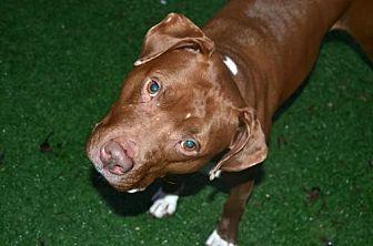 Pit Bull Terrier Mix Dog for adoption in Elizabethtown, Pennsylvania - Romy