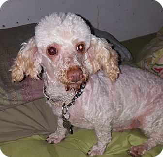 Poodle (Miniature) Dog for adoption in DAYTON, Ohio - Grover