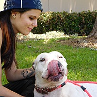 Dogo Argentino/Pit Bull Terrier Mix Dog for adoption in Los Angeles, California - Bunny
