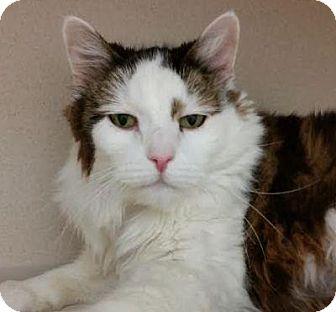 Domestic Longhair Cat for adoption in Denver, Colorado - Lucipurr