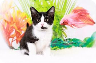 Domestic Shorthair Kitten for adoption in Sterling Heights, Michigan - Spanky