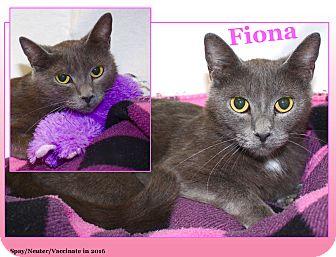 Russian Blue Cat for adoption in Cuba, Missouri - Fiona