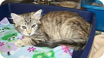 Domestic Mediumhair Kitten for adoption in Dover, Ohio - Faye