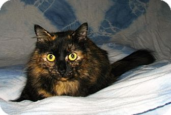 Domestic Longhair Cat for adoption in Norwich, New York - Cinnamon