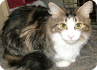 Domestic Longhair Cat for adoption in Chattanooga, Tennessee - Heather