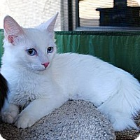Adopt A Pet :: Boo Bear - Palmdale, CA