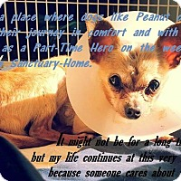 Adopt A Pet :: Peanut (hospice only) - Alamogordo, NM