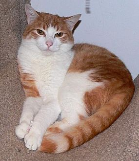 Domestic Shorthair Cat for adoption in Devon, Pennsylvania - LM-Sunny Courtesy Listing