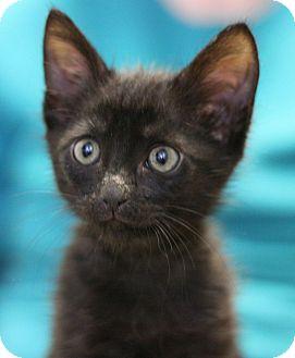 Domestic Shorthair Kitten for adoption in Canoga Park, California - Bret