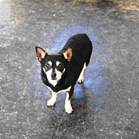 Chihuahua Dog for adoption in Graceville, Florida - Mickey #4