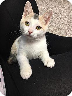 Domestic Shorthair Kitten for adoption in Columbus, Ohio - Polly