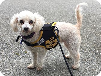 Poodle (Miniature) Mix Dog for adoption in Gig Harbor, Washington - Mop - adoption pending