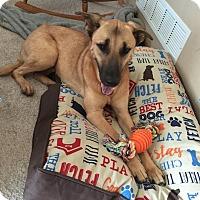 German Shepherd Dog/Labrador Retriever Mix Dog for adoption in Cedar Rapids, Iowa - Jude aka Shadow