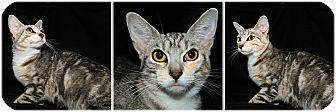 Domestic Shorthair Cat for adoption in Forked River, New Jersey - Faith