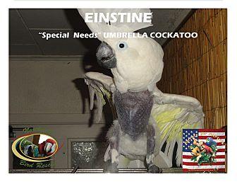 "Cockatoo for adoption in Vancouver, Washington - ""Einstein"" Special needs"