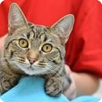 Domestic Shorthair Kitten for adoption in San Carlos, California - Dora