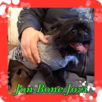 Pekingese/Terrier (Unknown Type, Small) Mix Dog for adoption in Pahrump, Nevada - Jon Bone Jovi