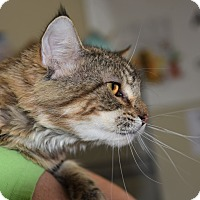 Domestic Longhair Cat for adoption in Houston, Texas - C.C.