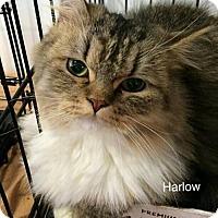 Adopt A Pet :: Harlow (part of bonded pair) - Studio City, CA