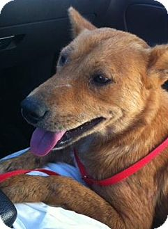 Chow Chow/Akita Mix Dog for adoption in Gainesville, Florida - Annabelle
