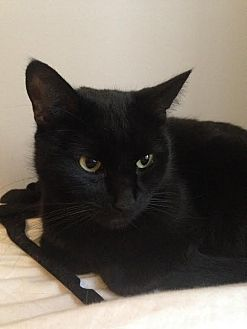 Domestic Shorthair Cat for adoption in New York, New York - Wednesday